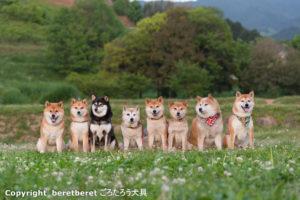 明日香村柴犬集合