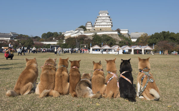 柴犬と姫路城