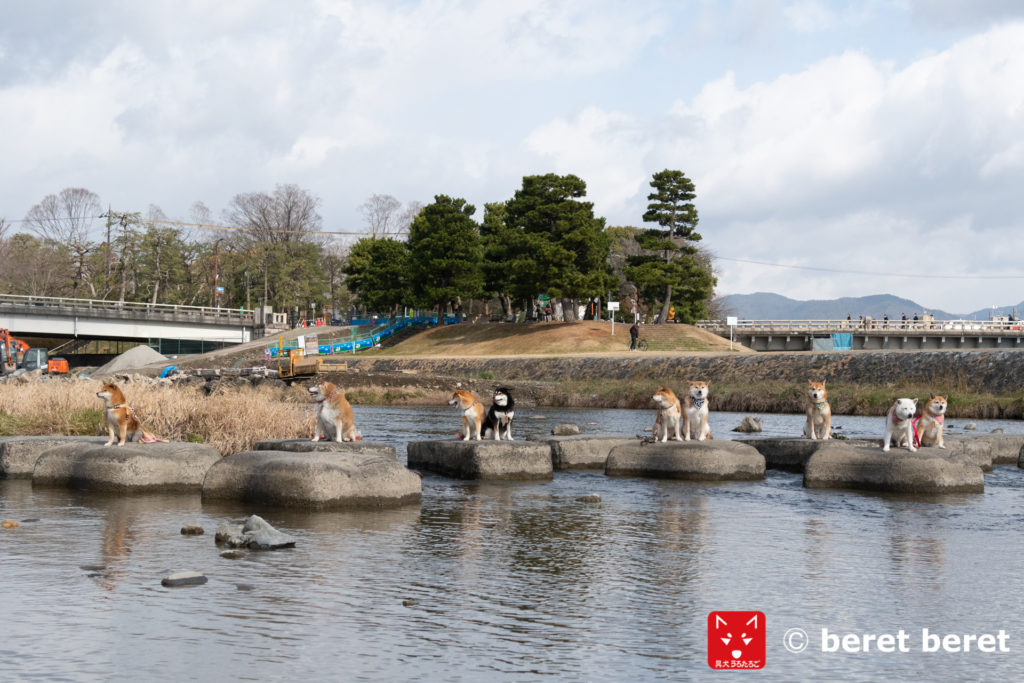 鴨川デルタで柴犬撮影