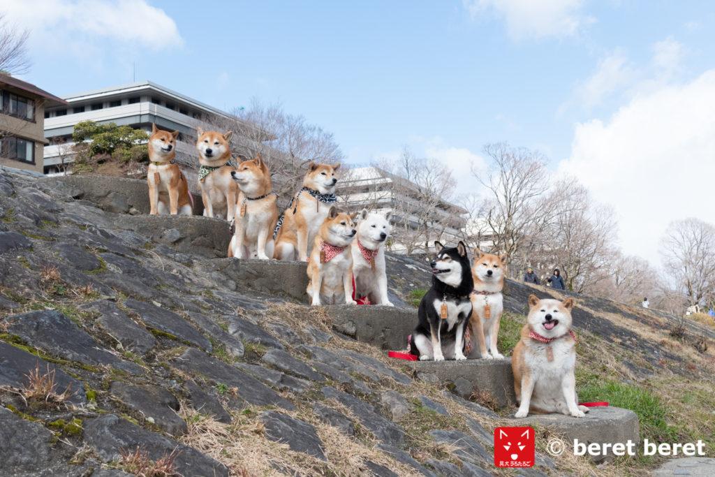 柴犬集合写真 階段バージョン