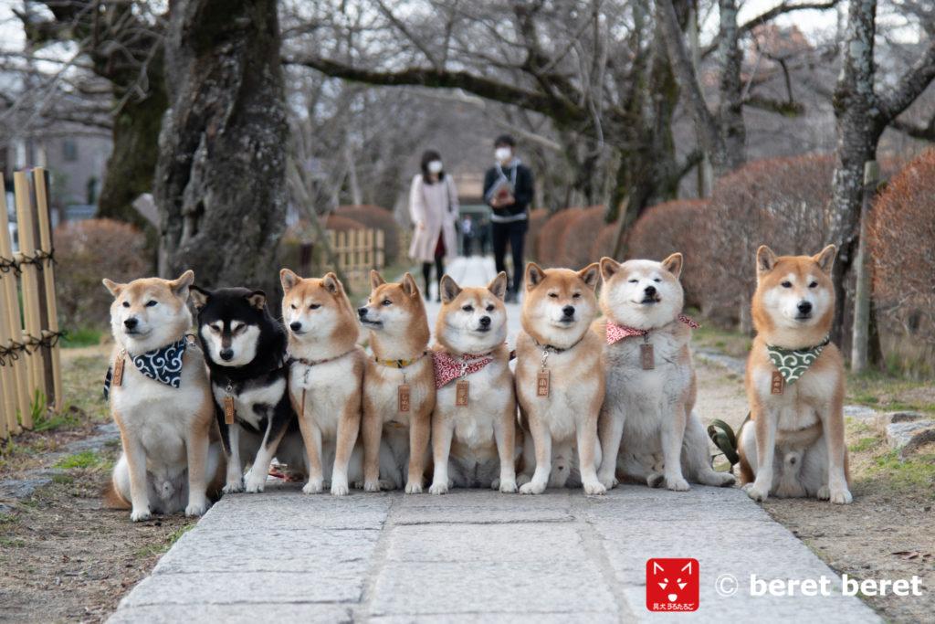 今出川通りの柴犬