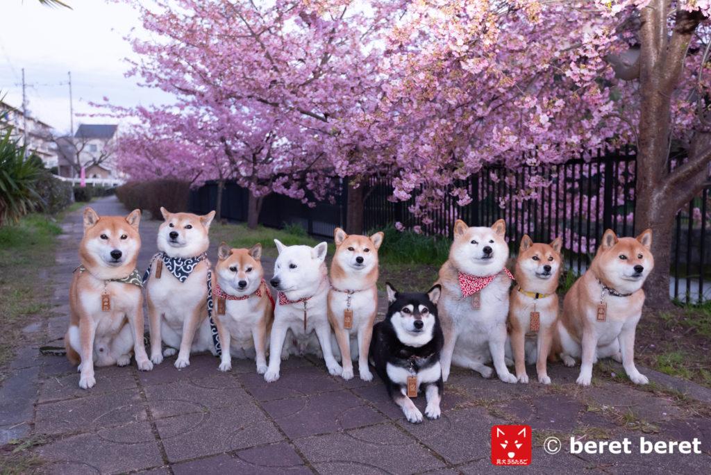 河津桜と柴犬