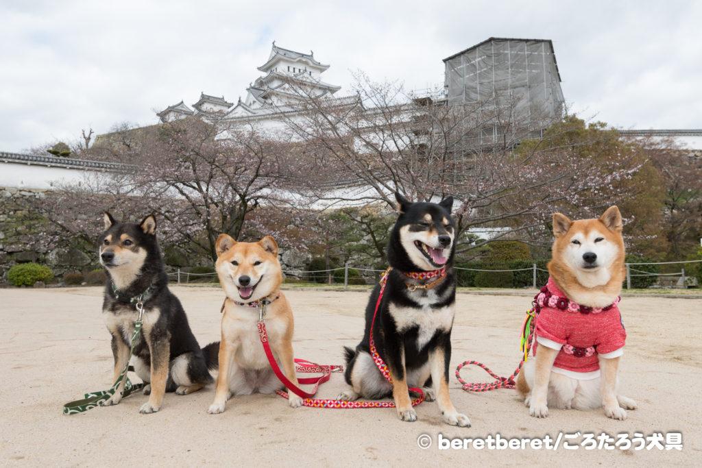 小グループの柴犬