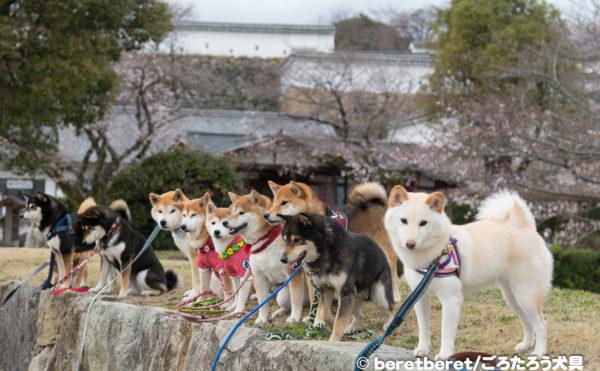 姫路城と柴犬