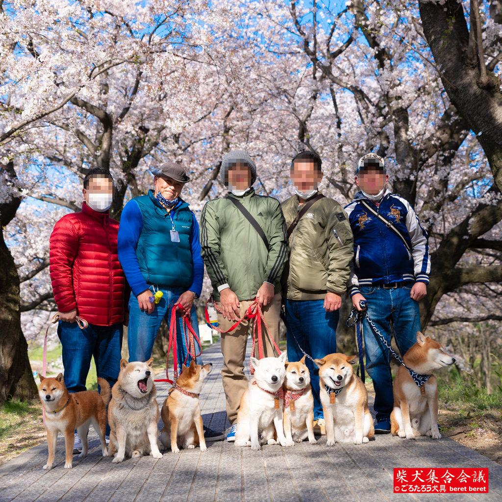 桜とオッサンと柴犬