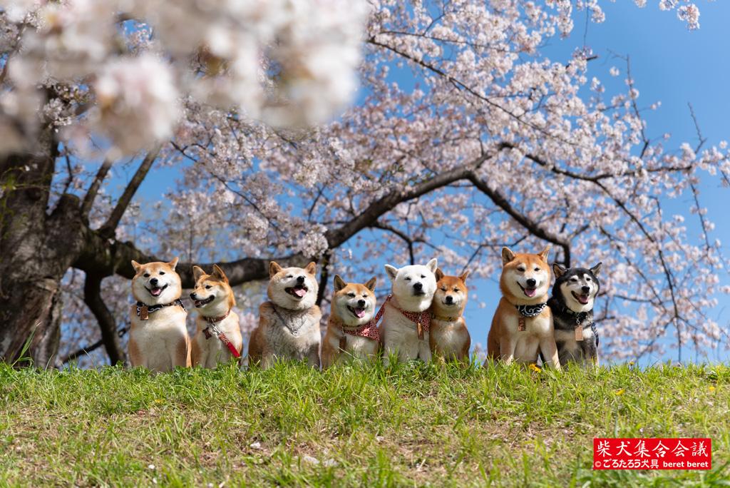 桜と柴犬集合