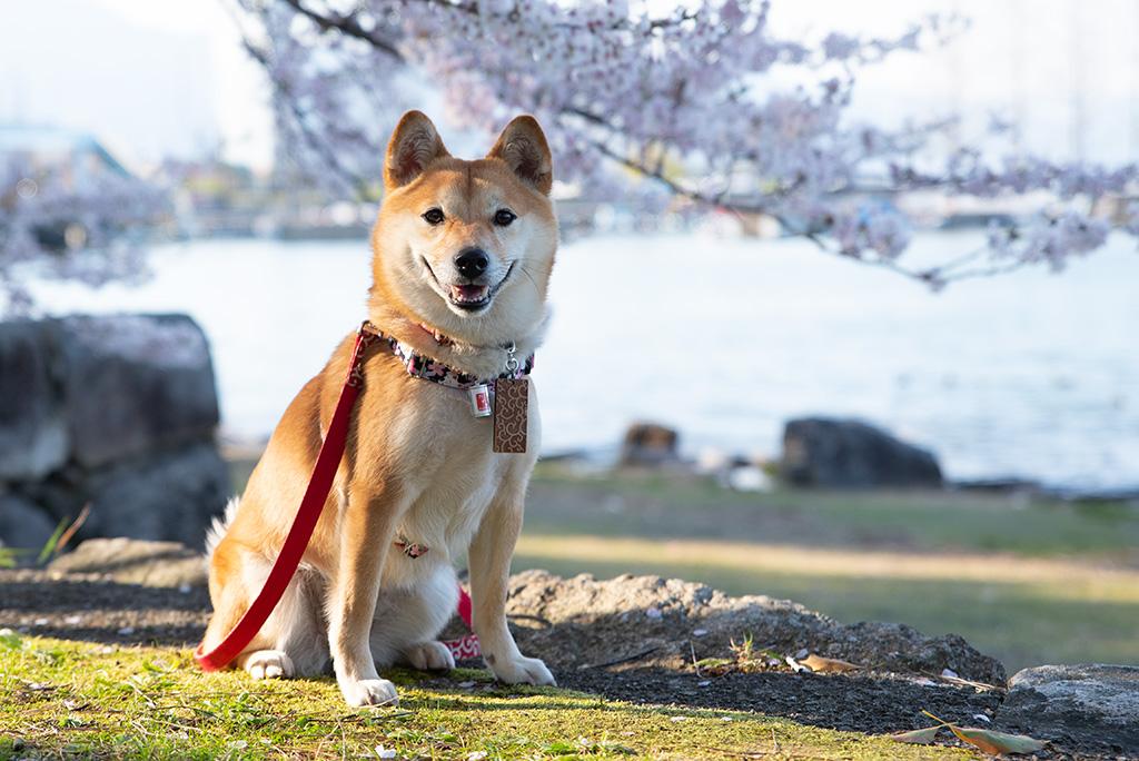 琵琶湖と柴犬