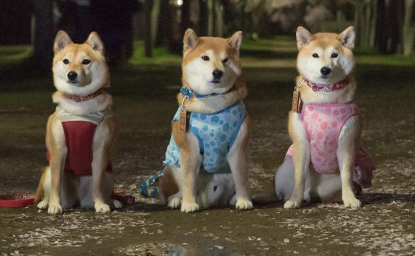 柴犬いぶき柴犬リキ柴犬ユリ