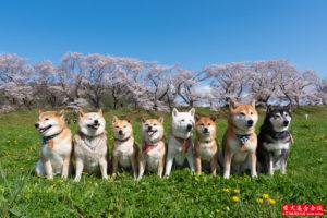 背割堤と柴犬