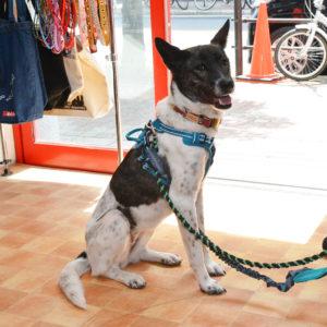 琉球ミックス犬