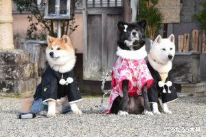 秋田犬の初詣