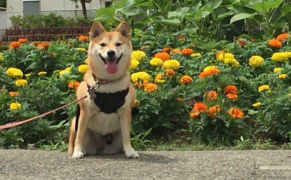 花壇と柴犬