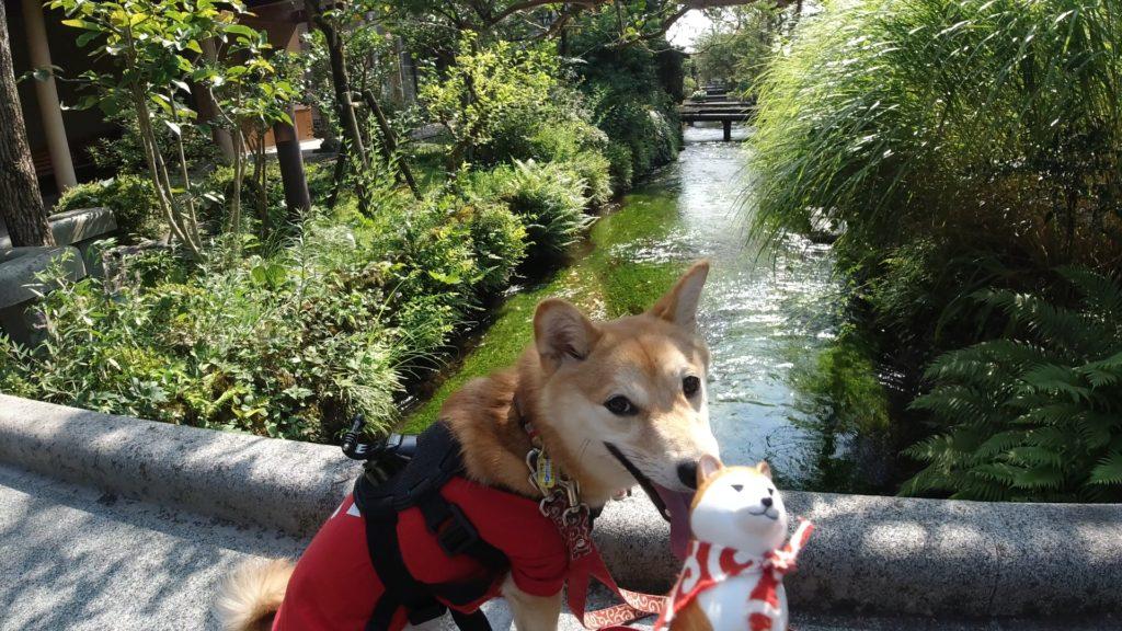 地蔵川と柴犬